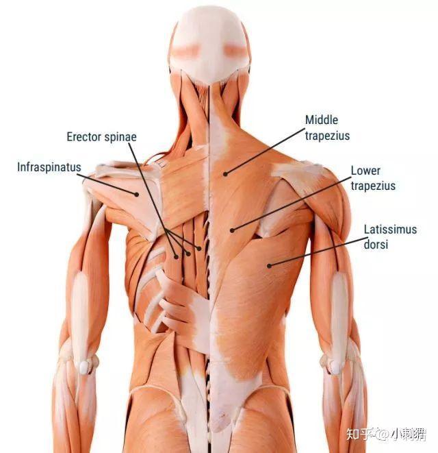背部身体结构_老手练背\