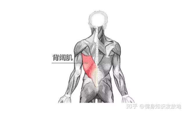 背部身体结构_背部复杂的结构提供了人体躯干活动的力量,它可以进行大幅度的