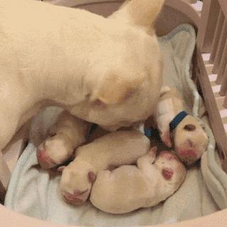 狗狗什么时候发情?狗狗最佳配种时间?宠物怀孕的症状怎么判断是否怀孕?(图6)