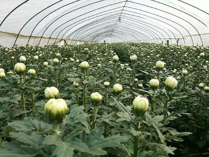 切花菊在什么土壤中种植出来品质高