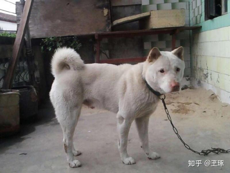 60厘米_本犬纲目(中国本土犬品种大全) - 知乎