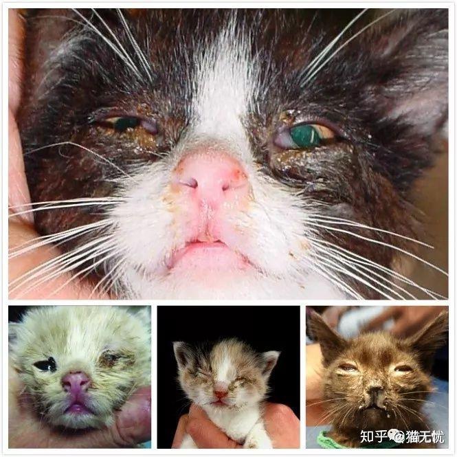 猫得螨虫的症状_请问猫鼻支的症状及诱发原因?还有鼻支跟感冒有什么区别? - 知乎