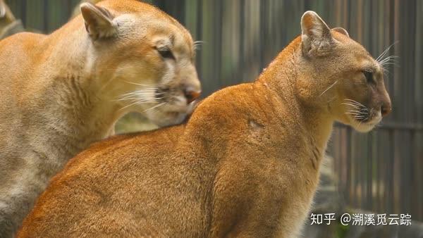 美洲拟狮和剑齿虎_美洲狮是不是狮子?它跟狮子有什么区别呢? - 知乎