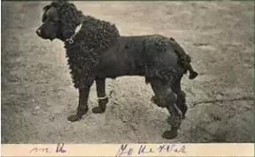 贵宾犬和泰迪的区别11