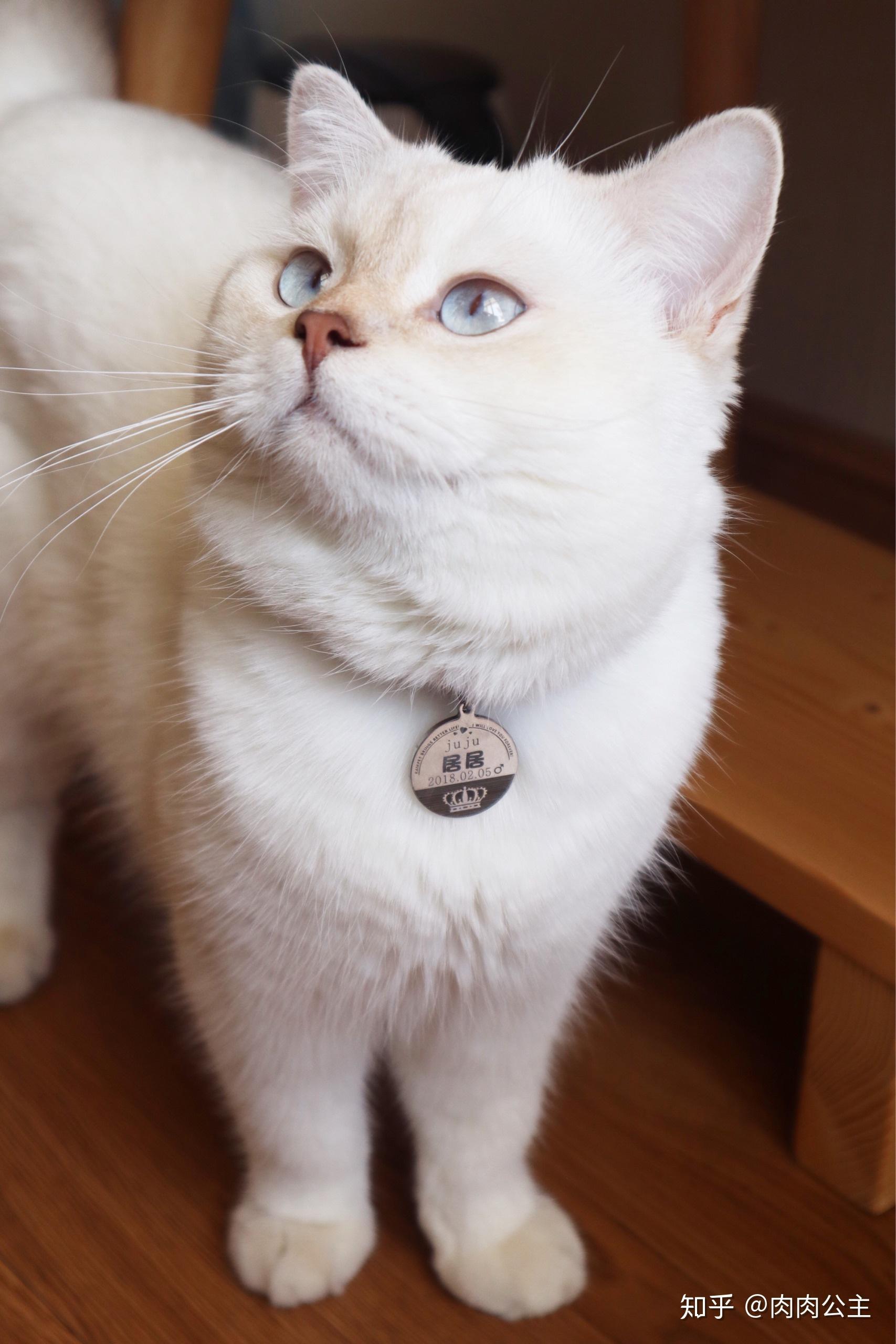 求科普英国短毛猫的银点色科普一下,英国短毛猫银点猫咪