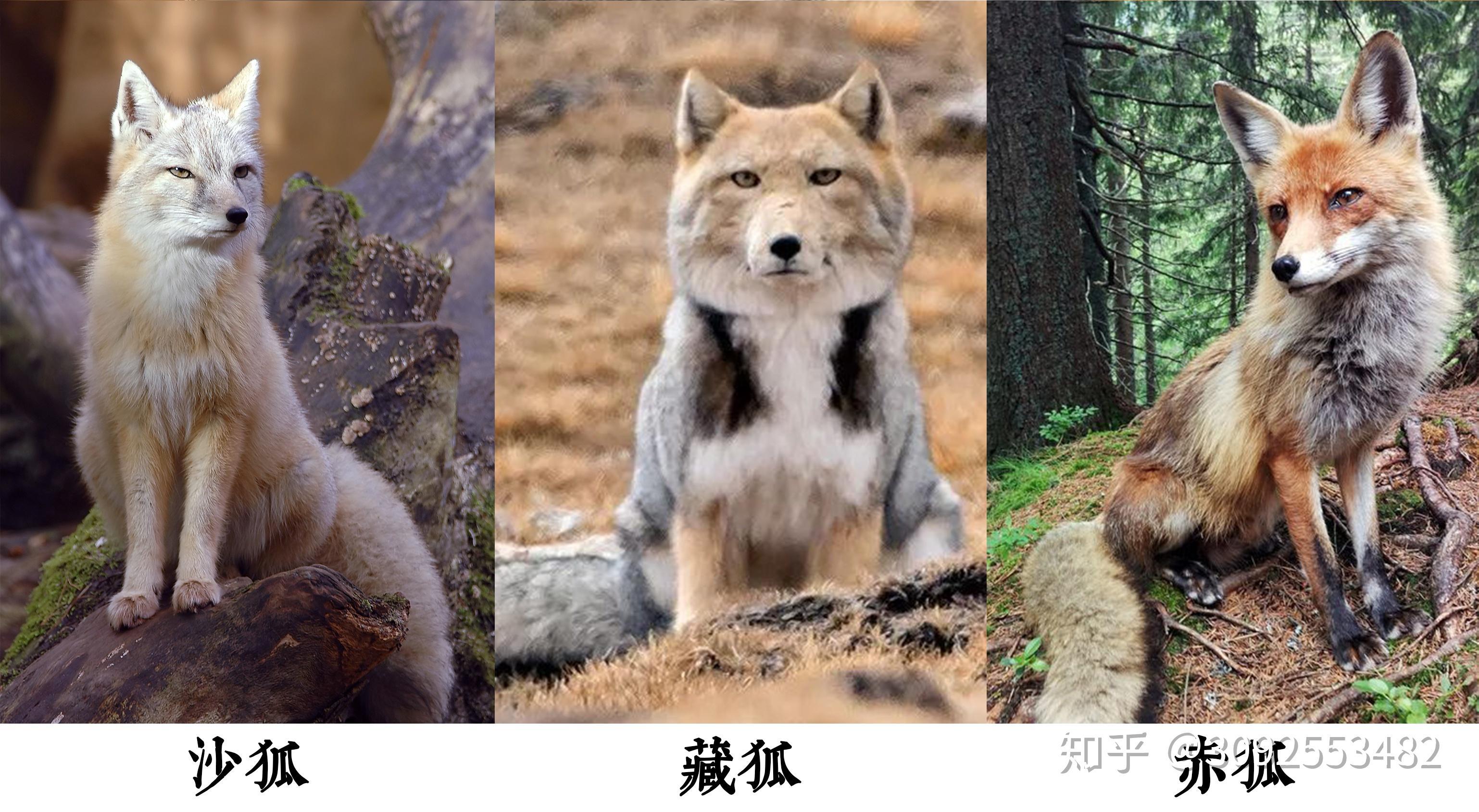 狐文化特辑【一】古代中国幻想世界中的「狐」插图