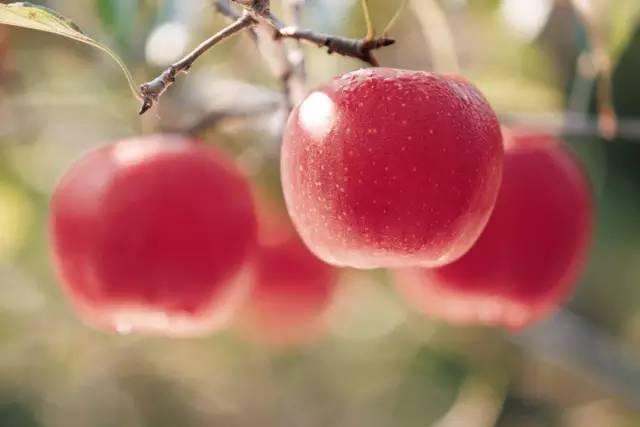 苹果餐三天减肥法危害图片