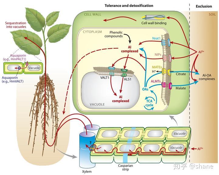 植物抵抗酸性土壤铝毒害的分子基础
