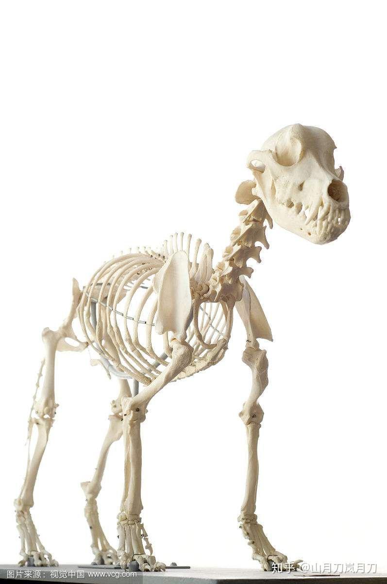 大型犬品种_犬科当中有没有出现过狮子老虎这样的大型猛兽? - 知乎