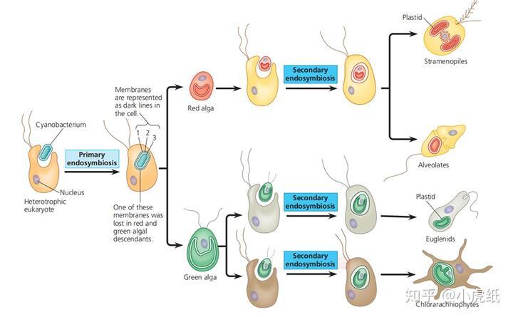线粒体是怎么产生的?